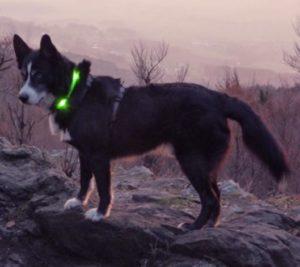 glow collar