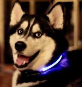 husky with light up collar