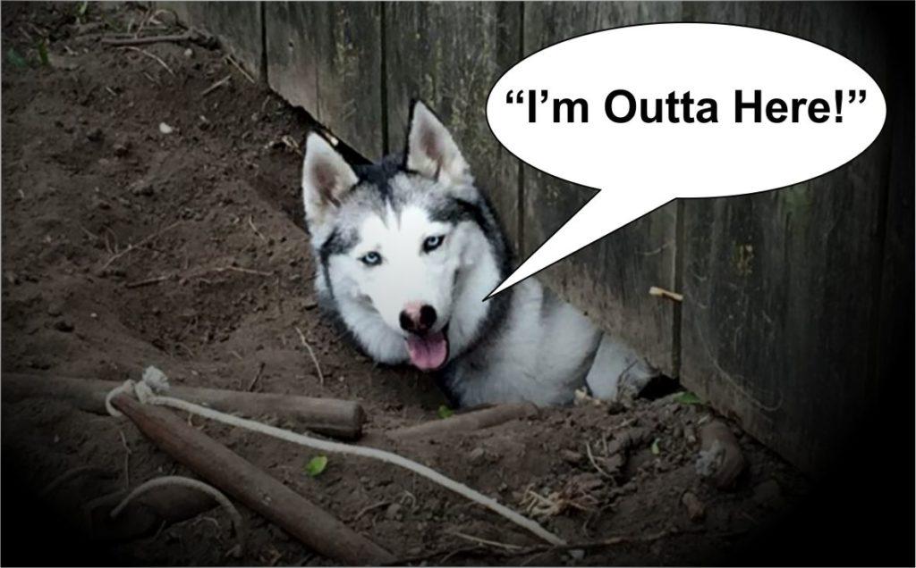 husky got out