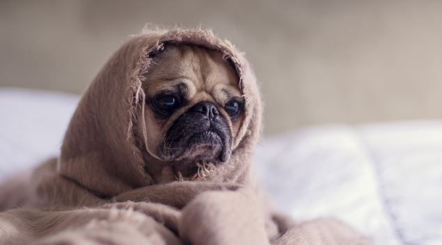 pug dog breed information facts and average lifespan