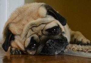 canine stomach ache