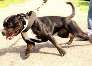 canine on a walk